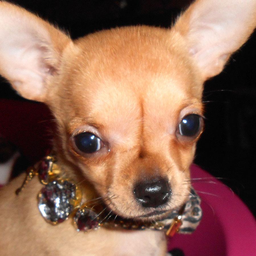 La Dama de Rosa, Chihuahua kennel