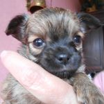 Chihuahua pup La Dama De Rosa Den Haag